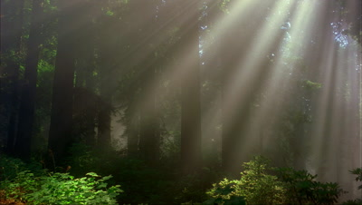 Sunbeams,Fog Through Trees, Redwood National Park