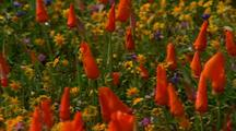 Flowers At Antelope Valley California Poppy Reserve