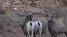 Mountain Goats At Arches National Park
