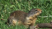 Groundhog In Grass