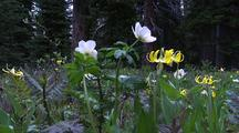 Wildflowers, Banff National Park, Alberta, Canada