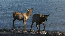 Elk Wade In Yellowstone Lake In Yellowstone National Park
