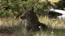 Coyote Rests In Yellowstone National Park