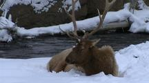 Elk Lies In Snow, Yellowstone National Park