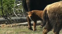 Bison Calf With Herd, Yellowstone National Park