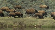 Bison Herd Grazes Near River, Yellowstone National Park