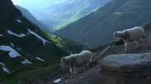 Mountain Goats On Rocky Ledge In Glacier National Park