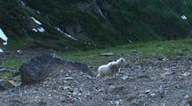 Mountain Goat On Rocky Ledge In Glacier National Park
