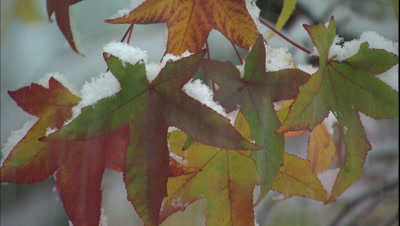Bright Fall Colors, Snow Landing On Leaves
