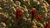 Field Of Wildflowers, Mt. Rainier