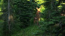 Deer With Fawn In Forest, Mt Rainier