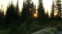 Mt Rainier, Wildflowers And Sunburst Through Forest