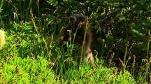 Marmot Grazing On Tall Grass