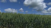 Wheat Field In Palouse Washington