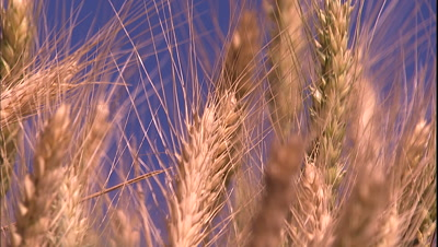 Close-Up Of Wheat Lit By Golden Light
