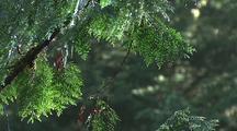 Close-Up Of Cedar Branches