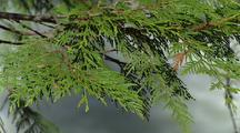 Close-Up Of Cedar Branches, Creek Behind