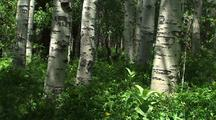 White Tree Trunks, Possibly Birch Or Aspen