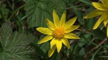 Yellow Wildflower, Daisy Or Sunflower