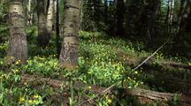 Field Of Glacier Lily Wildflowers In Forest