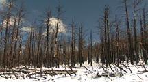 Dead, Burned Trees In Snow