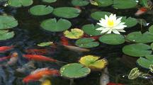 Water Lily And Koi Fish