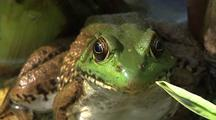 Green Frog On Lily Pad In Koi Pond