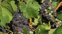 Napa Valley Vineyard, Close-Up Of Grapes