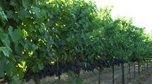 Napa Valley Vineyard, Grapes