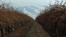 Dormant Grape Vines