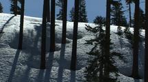 Trees At Mount Shasta