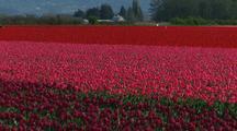 Field At Tulip Farm