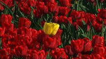 Single Yellow Bloom In Field Of Red At Tulip Farm