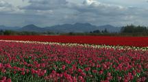 Field Of Blooms At Tulip Farm