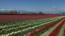 Walking Through Field At Tulip Farm