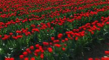 Walking Through Field Of Red Flowers At Tulip Farm