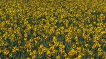 Field Of Yellow Flowers At Tulip Farm