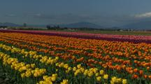 Field Of Flowers At Tulip Farm