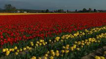 Walking Through Field Of Flowers At Tulip Farm