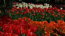 Close-Up Of Flowers At Tulip Farm