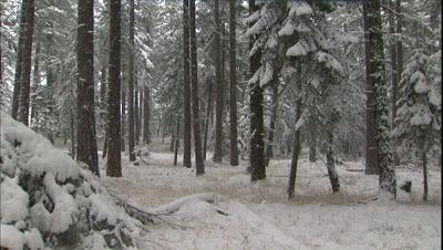Steadicam Walk Through Forest During Snowfall