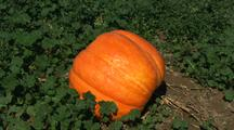 Pumpkin In Field