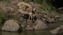 Bighorn Sheep Above River In Grand Canyon