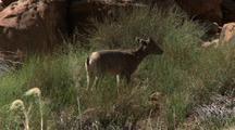 Bighorn Sheep Lamb In Grand Canyon