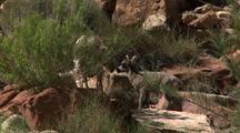 Bighorn Sheep And Lamb In Grand Canyon