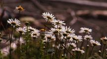 Daisies Blowing In The Wind