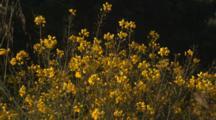 Yellow Wildflowers On Coast