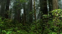 Panoramic View Of Redwood Forest And Rhododendrons