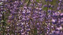 Field Of Purple Lupine Flowers