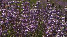 Field-Up Of Purple Lupine Flowers With Bee